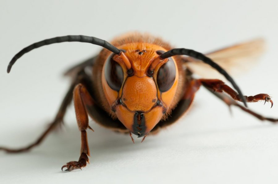 Murder hornets entrance into Washington State raises concern for the U.S.