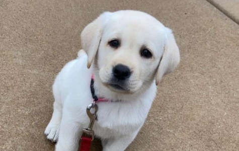 The newest addition to senior Maya Johnson's family poses for a picture, as the pandemic causes an increase in puppy adoptions.
