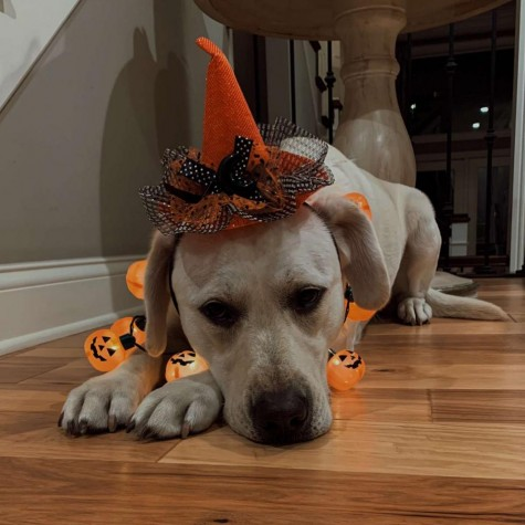 Barrett's dog, Rizzo, is dressed in Halloween attire for the fall of 2020.